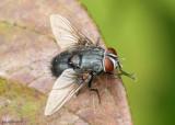 fly - Leschenaultia bicolor
