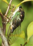 Dog Day Cicada Tibicen tibicen