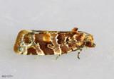 Jack Pine Tube Moth Argyrotaenia tabulana #3603