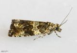 Celypha Moth Celypha cespitana #2859