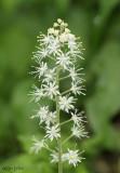 Foamflower Tiarella cordifolia