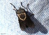 Western Horse Fly Tabanus punctifer