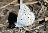 Melissa Blue Lycaeides melissa