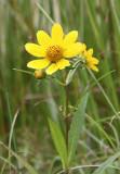 Nodding Bur Marigold Bidens cernua
