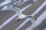 Ivoormeeuw / Ivory Gull