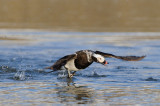 IJseend / Long-tailed Duck