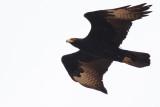 Zwarte arend / Verreauxs' eagle
