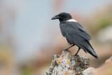 Schildraaf / Pied Crow