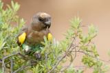 Meyers Papegaai / Meyer's Parrot,