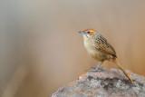 Kaapse Grasvogel / Cape Grass-Warbler