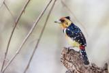 Kuifbaardvogel / Crested Barbet