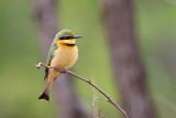 Dwergbijeneter / Little Bee-eater