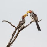 Geelsnaveltok / Southern Yellow-billed Hornbill