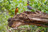 Witbrauwlawaaimaker / White-browed Robin-Chat