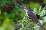 Koekoek / Eurasian Cuckoo,