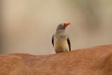 Roodsnavelossepikker / Red-billed Oxpecker