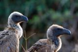 Witruggier / White-backed Vulture