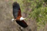 Afrikaanse Zeearend / African Fish-Eagle