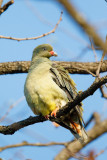 Afrikaanse Papegaaiduif / African Green-Pigeon