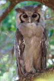 Verreaux' Oehoe / Verreaux's Eagle-Owl