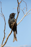 Vorkstaartdrongo / Fork-tailed Drongo
