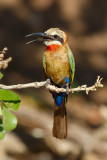 Witkapbijeneter / White-fronted Bee-eater