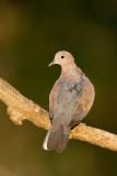 Palmtortel / Laughing Dove