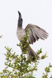 Grijze Tok / African Grey Hornbill