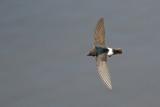Huisgierzwaluw / Little Swifte