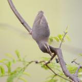 Kaapse Krombek / Long-billed Crombec