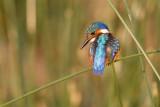 Malachietijsvogel / Malachite Kingfisher