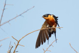 Roodborstzwaluw / Red-breasted Swallow
