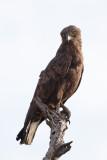 Bruine Slangenarend / Brown Snake-eagle