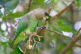 Bruinkoppapegaai / Brown-headed Parrot