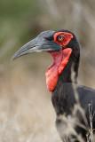Zuidelijke Hoornraaf / Southern Ground-Hornbill