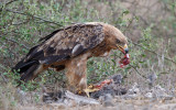 Savanne-arend / Tawny Eagle