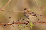 Witbrauw-waaierstaart / White-browed Scrub Robin