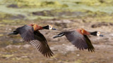 Witwangfluiteend / White-faced Whistling-Duck