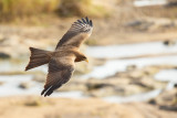 Geelsnavelwouw / Yellow-billed Kite