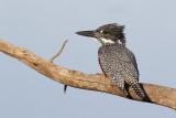 Afrikaanse Reuzenijsvogel / Giant Kingfisher