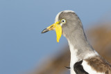 White-crowned Plover / Witkruinkievit