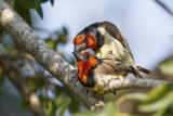 Zwarthalsbaardvogel / Black-collared Barbet