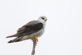 Grijze Wouw / Black-winged Kite