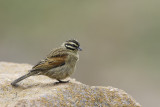 Kaapse Gors / Cape Bunting