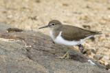 Oeverloper / Common Sandpiper
