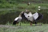 Nijlgans / Egyptian Goose
