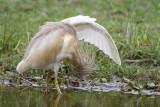 Ralreiger / Squacco Heron