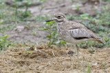 Watergriel / Water Thick-knee,