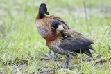 Witwangfluiteend / White-faced Whistling-Duck,