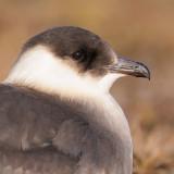 Kleine Jager / Arctic Skua